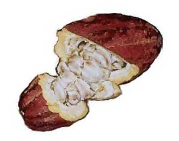 An opened cocoa's fruit