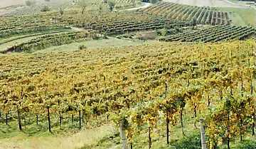 View of a vineyard