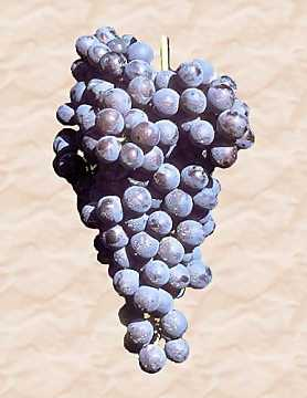 A bunch of Nebbiolo grape