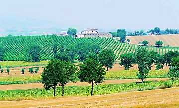 A view of Adanti's vineyards