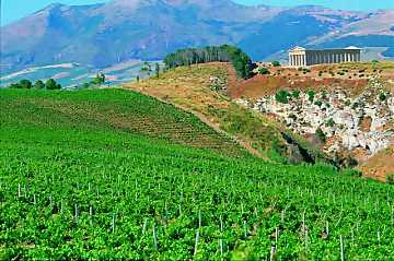 A view of Fazio winery's vineyards. In the background the temple of Segesta