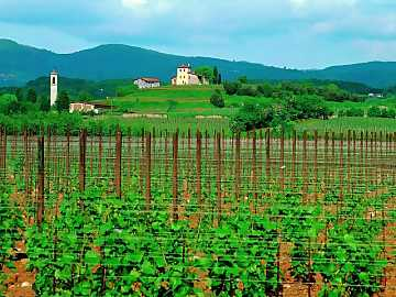 A view of Castello vineyard