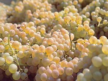Ripe Trebbiano grapes ready to transformed into must