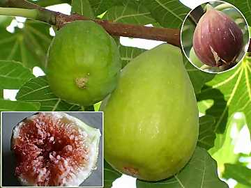 Tasty, sweet and nutrient, figs are among the most ancient fruits known by men