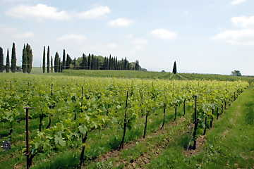 Everything begins from the vineyard: the good and bad qualities of a wine depend on the fruits of vine