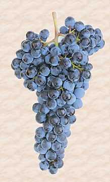 A bunch of Sangiovese grape