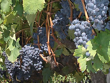 Clusters of Sangiovese: among the most common grapes in Italy, its wines offer remarkable possibilities for the study and understanding of varietal and territorial diversity